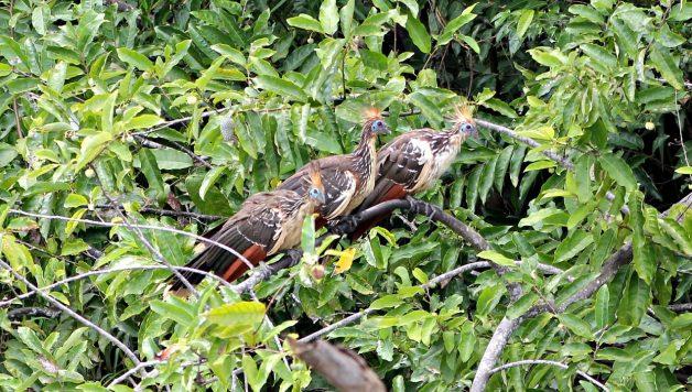 L'Ara Militaire, un des oiseaux phare du Pérou